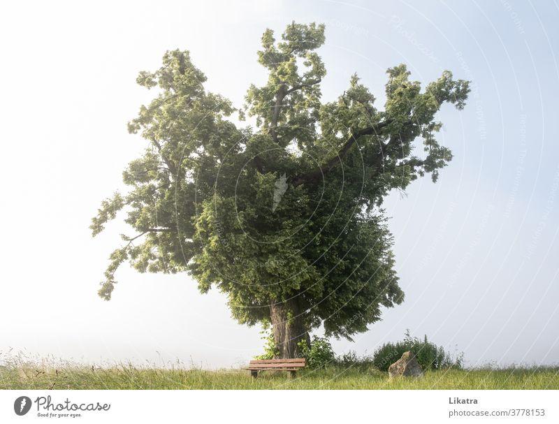 Alter stattlicher Baum Bank Nebel Spaziergang Ruhe Ruheplatz alt Einsamkeit Natur Naturliebe Klima ruhig Landschaft Erholung Außenaufnahme Umwelt