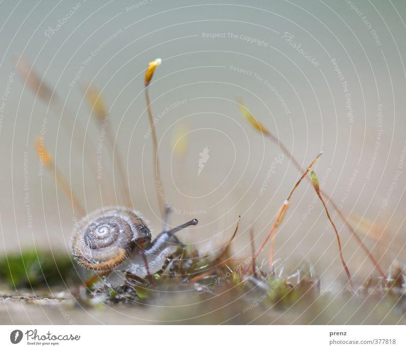 4mm - Schnecke auf Moos Umwelt Natur Tier Wildtier 1 grau grün Fühler klein Farbfoto Außenaufnahme Nahaufnahme Makroaufnahme Menschenleer Textfreiraum oben Tag