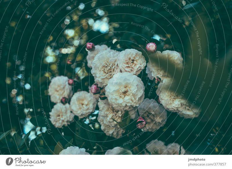 Roses are Red ... not! White!!! Umwelt Natur Pflanze Sommer Schönes Wetter Blume Blatt Blüte Rosenblätter Rosengewächse Rosenblüte Rosengarten Pfingstrose