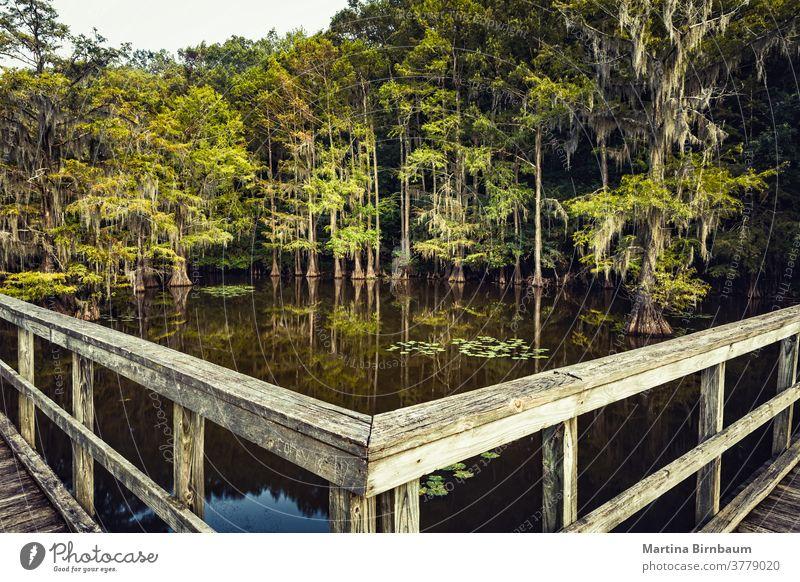 Sommerstimmung am Caddo Lake, Texas. Holzbrücke, die in einen Zauberwald führt Brücke Stimmung Zypressen State Park Caddo-See spanisches Moos Wasser mystisch