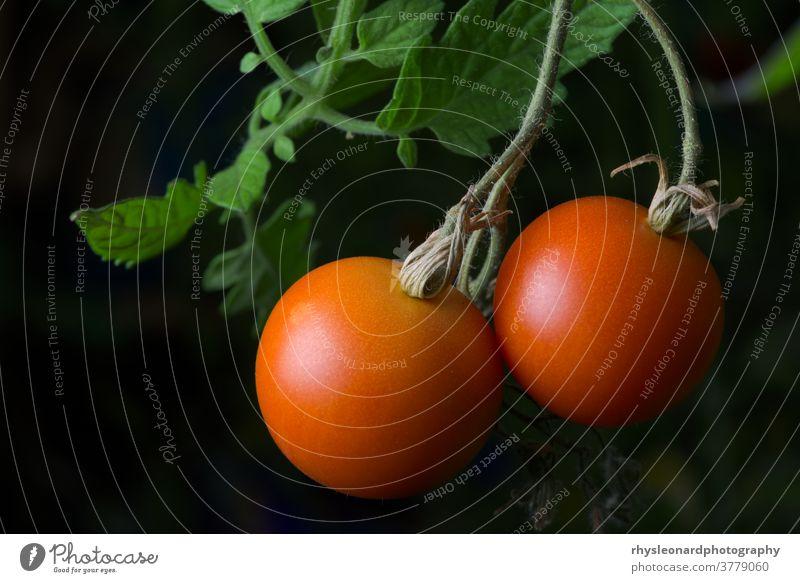 3 - Leuchtend rotes, reifes und verzehrfertiges Paar Tomaten aus eigenem Anbau. pulsierend Pflanze wachsend heimwärts Gartenarbeit Gesunde Ernährung Frucht