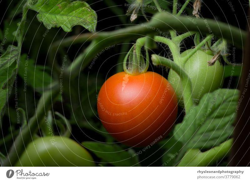 5 - Hellrotes, reifes und verzehrfertiges Tomatenpaar, mehr Platz zum Kopieren Garten Unterholz Fokus selektiv wachsend heimwärts Gartenarbeit Gesunde Ernährung
