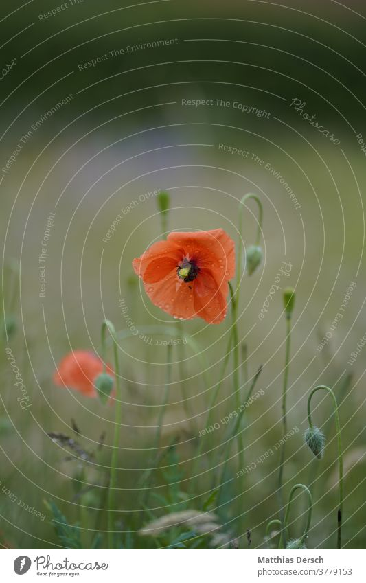 Blütentraum Blume Garten Detailaufnahme Pflanze Natur Nahaufnahme Außenaufnahme Blühend Sommer Farbfoto Blütenblatt Mohn Mohnblüte mohnblumen