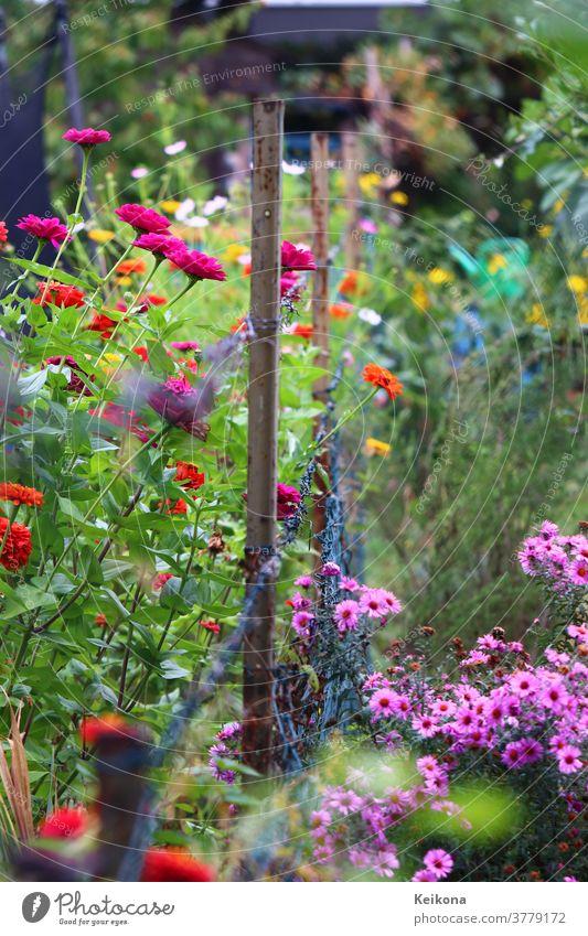 Bunte Blumenpracht im deutschen Garten. Pinke Chrysanthemen, rote, fuchsia Calendulas an Maschendrahtzaum. Zäune deutschland garten marigold caledundula orange