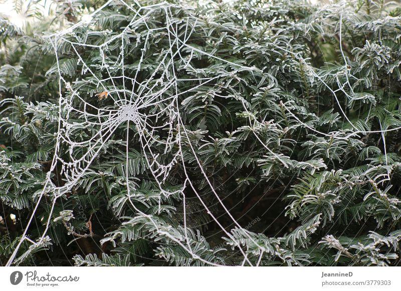 Spinnennetz mit Raureif Frost kalt Außenaufnahme Eis Winter Natur gefroren Jahreszeiten Helloween frieren Pflanze gebüsch Angst Kälte Morgentau frostig