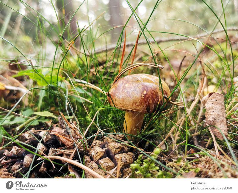Lecker Abendessen - oder eine Marone steht zwischen Moos, Gras und Tannenzapfen im Wald und wartet darauf, von der Fotoline gefunden zu werden braun grün Natur