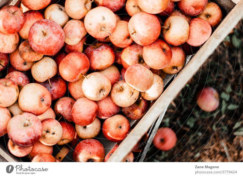 Holzkiste mit frisch gepflückten Äpfeln, Herbstthema Kiste gepflückte Äpfel Apfel Apfelbaum Kastenäpfel fallen Früchte Garten Herbstfrüchte einheimische Früchte