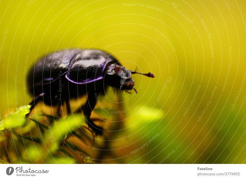 Diesen Mistkäfer auf einer Moosflechte entdeckte ich bei meinem Streifzug durch den Wald. Käfer Tier Natur Insekt krabbeln Makroaufnahme Nahaufnahme Farbfoto