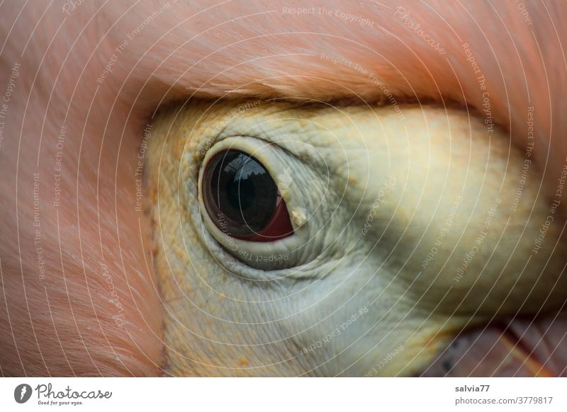 Alles im Blick Tier Vogel Auge Natur Detailaufnahme Pelikanauge Schnabel Tierporträt rosa Wildtier Makroaufnahme Tiergesicht beobachten