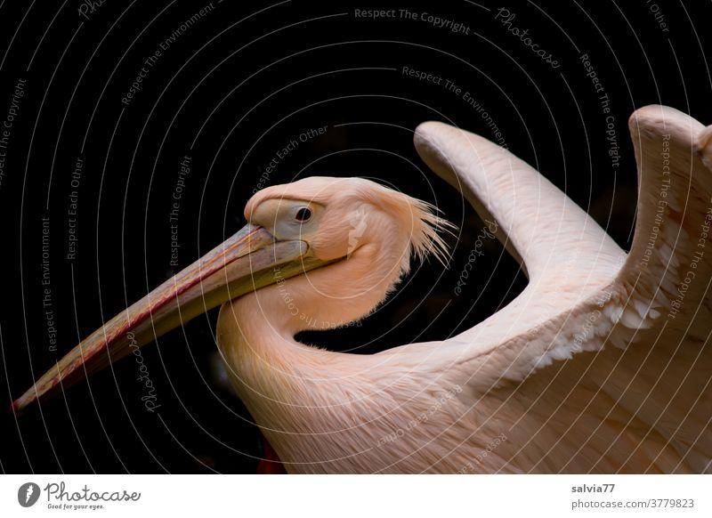 stolz präsentiert der Pelikan sein schönes Federkleid Vogel Pelicanus onoctrotalis Weißer Pelikan Schnabel Tierporträt Wildtier 1 Flügel Gefieder Zoologie