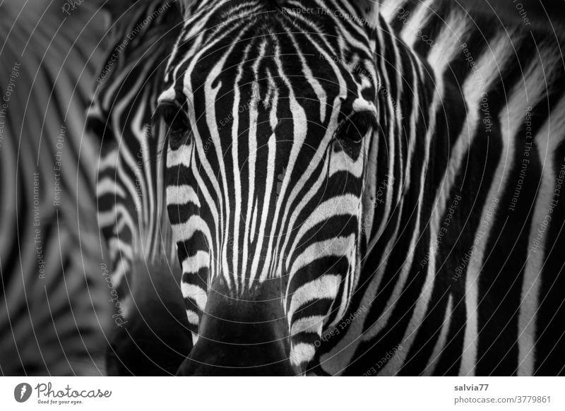 Zebrablick Blick Tier Zoologie Tierporträt Wildtier Nahaufnahme Menschenleer Streifen Muster Natur schwarz weiß Afrika Außenaufnahme gestreift Schwarzweißfoto