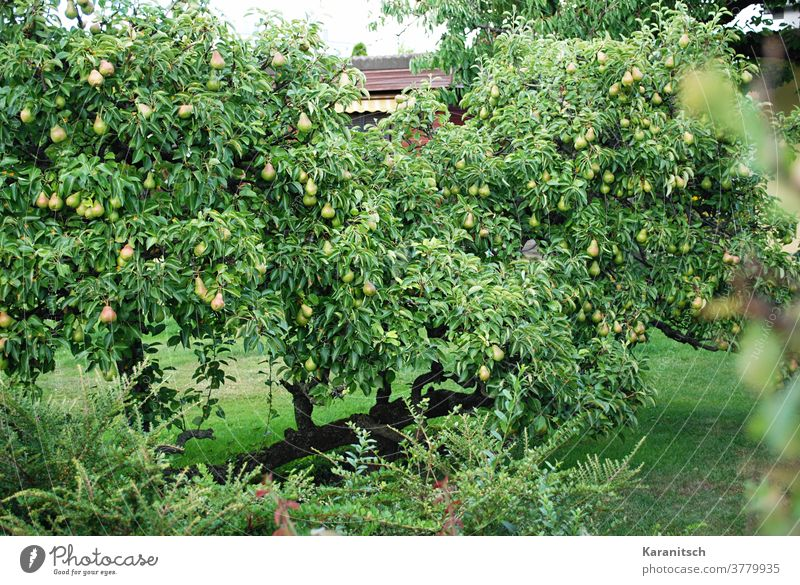 Viele Birnen hängen in den dichten Ästen des Birnbaums. Frucht Kernobst Baum Obstbaum Essen Lebensmittel Vitamine gesund Ernährung organisch Natur natürlich