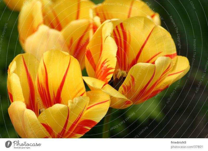 Tulpenblüten Blüte orange-rot