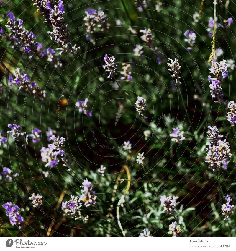 Der Sonne entgegen! Natur Pflanze Blüten Lavendel Sommer Außenaufnahme Garten hell und dunkel Menschenleer