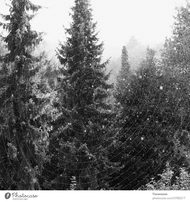 Fichten in zartem Schneegestöber Bäume Wald Gebüsch Schneefall Winter neblig Schwarzweißfoto kalt Natur schwarz Menschenleer Außenaufnahme