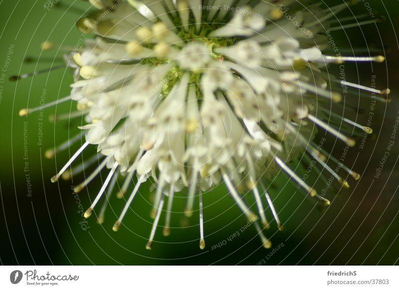 Blütenkranz Distel Makroaufnahme Korona Macroaufnahme