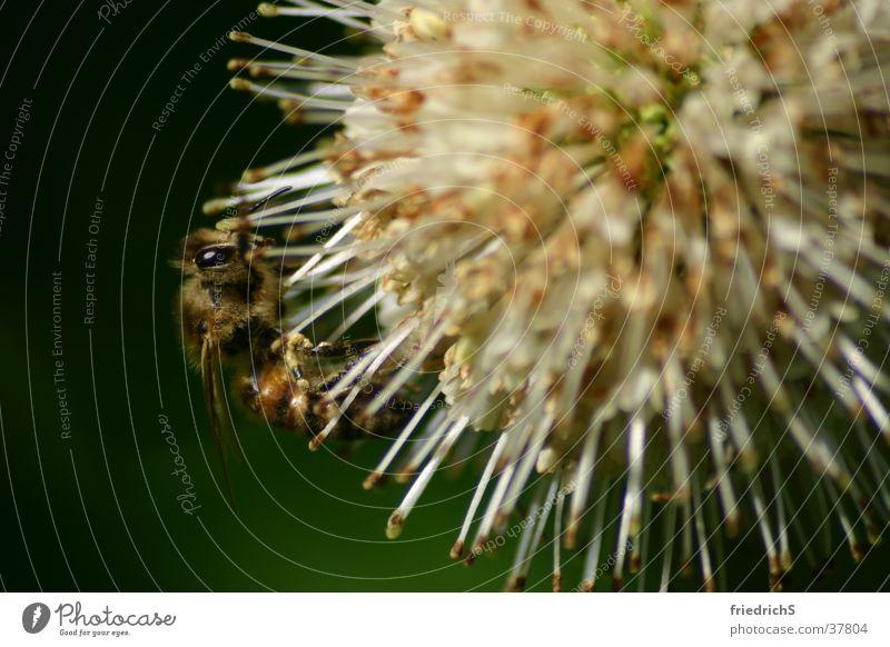 Biene auf Blüte Insekt Staubfäden Distel Makroaufnahme Nektar Nahaufnahme