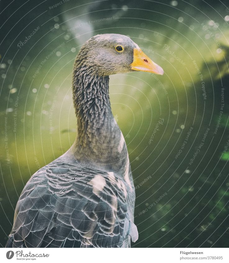 Donald Duck Entertainment Entenvögel Ententeich Entertainer entern Entenfamilie Gans Schnabel Schnabeltier Teich