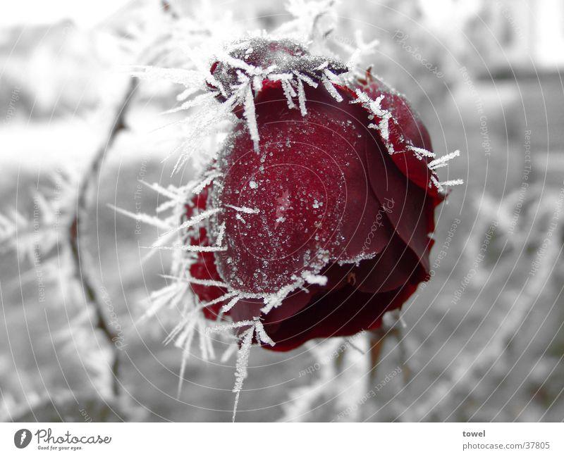Eisrose Rose Raureif kalt Dorn rot gefroren grau Winter Kontrast Frost