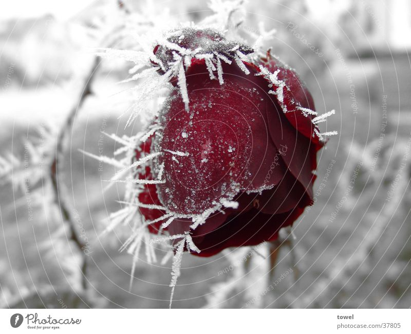Eisrose rot Winter kalt grau Frost Rose gefroren Raureif Dorn
