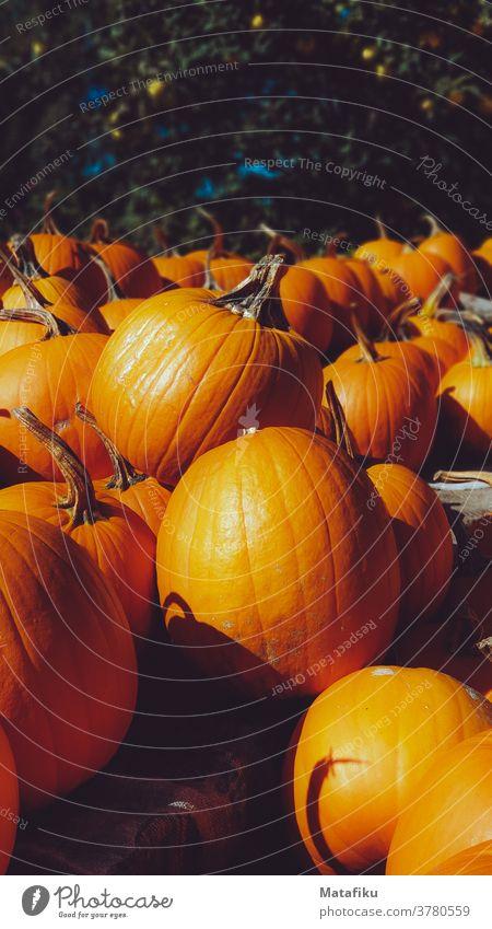 Kürbis Halloween orange Herbst Gemüse Erntedankfest Lebensmittel Dekoration & Verzierung Jahreszeiten saisonbedingt Ackerbau Oktober
