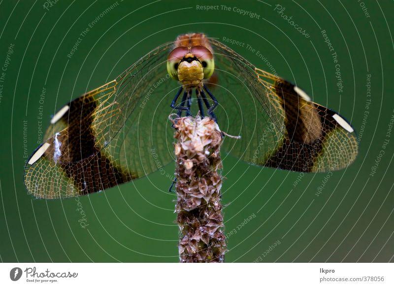 Vorderseite der wild schwarzgelben Libelle auf einem HolzbH Sommer Garten Natur Pflanze Weiche Pfote Linie braun grau grün rot weiß Farbe Ast Buchse Flügel