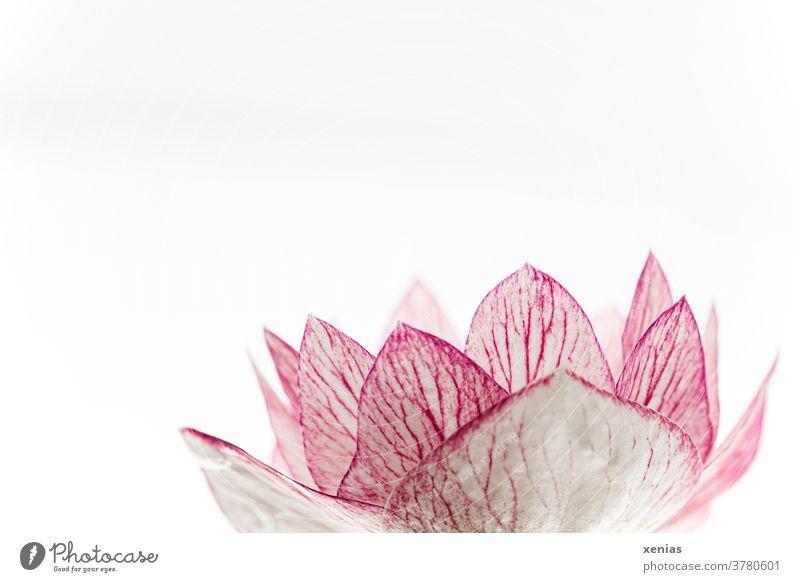 Makroaufnahme: Rosa Blüte einer Zierkirsche vor weißem Hintergrund Blume Kirschblüten rosa Frühling Blühend schön Neutraler Hintergrund Freisteller Pflanze
