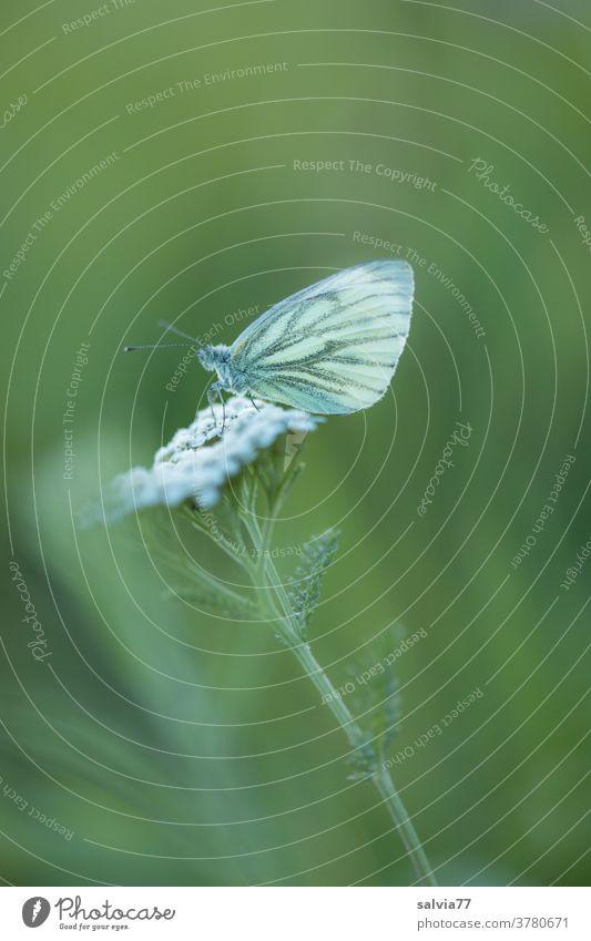 Feierabend Natur Schmetterling Weißling Pflanze Blume Schafgarbe grün weiß Wiese Blüte Sommer Nahaufnahme Flügel ruhen Pause Schwache Tiefenschärfe