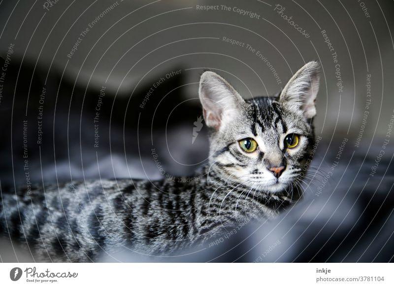 Streifenhörnchen für mafied Katze Katzenjunges Farbfoto nahaufnahme Blick in die Kamera getigert gelb Katzenportrait liegen grau gemütlich zuHause Haustier