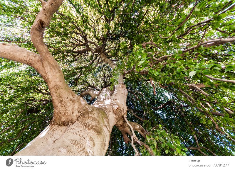 Baum von unten Laubbaum Sommer Schönes Wetter Weitwinkel Leben groß Klima Natur Umwelt Froschperspektive alt Weisheit