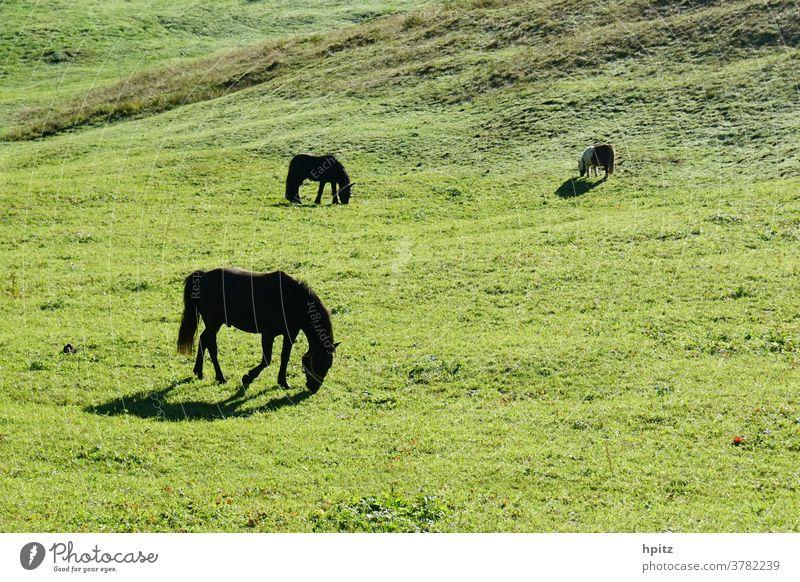 Pferde auf der Weide in der Morgensonne Pferde; Weide Sommer Natur Gras Wiese grün Frühstück auf der Weide Landschaft Umwelt Gegenlicht ruhige Stimmung