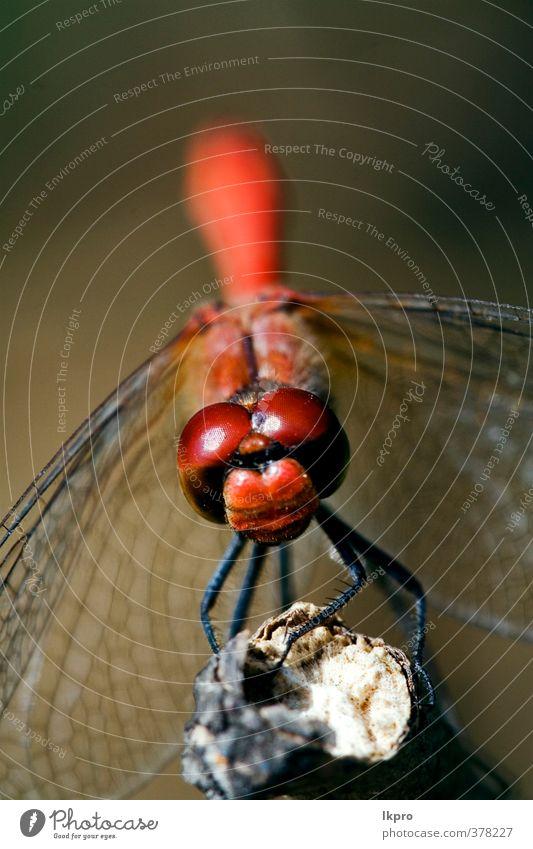 Vorderseite der wildroten gelben Libelle o Sommer Garten Natur Pflanze Weiche Pfote Linie Tropfen braun grau grün schwarz weiß Farbe Ast Holz Buchse Flügel