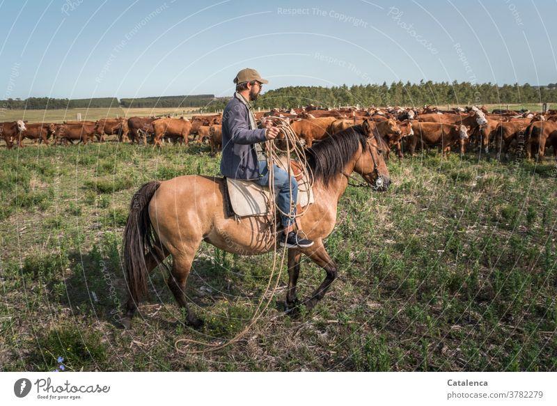 Pferd und Reiter mit Lasso nähern sich der Kuhherde auf der Weide Tageslicht schönes Wetter Gras Himmel Horizont Nutztier Tier Natur Landschaft Pflanze Gaucho