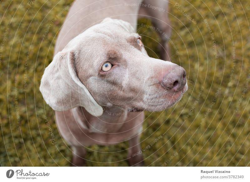 Nahaufnahme eines grauen Weimaraner-Rassehundes mit gelben Augen. Hund Haustier Tier braun Labrador Welpe niedlich Eckzahn Gras Porträt Retriever Schokolade