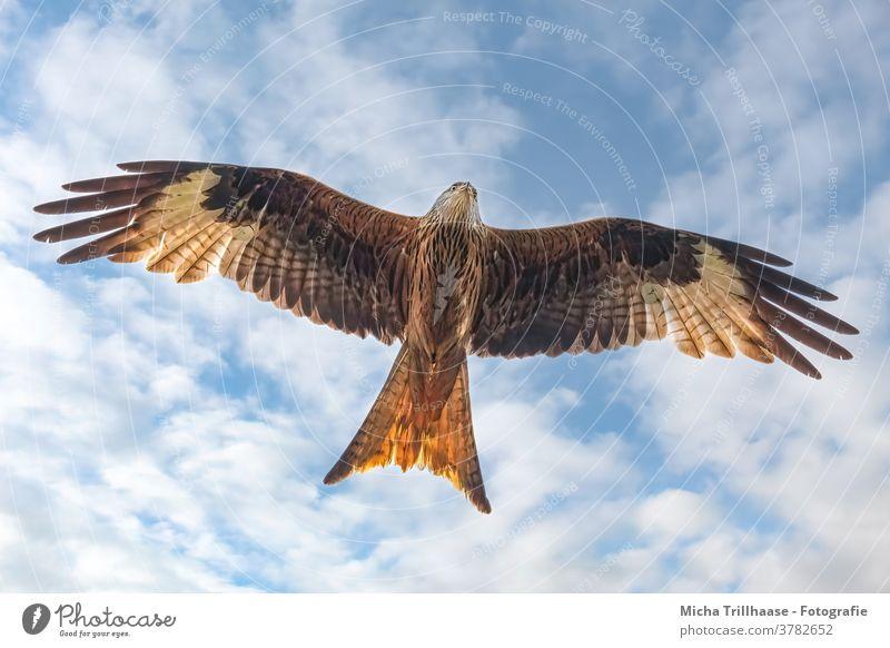 Fliegender Rotmilan Roter Milan Milvus milvus Greifvogel Vogel im Flug Kopf Schnabel Auge Flügel Gefieder Federn Flügelspanne Flügelschlag Himmel Wolken Sonne