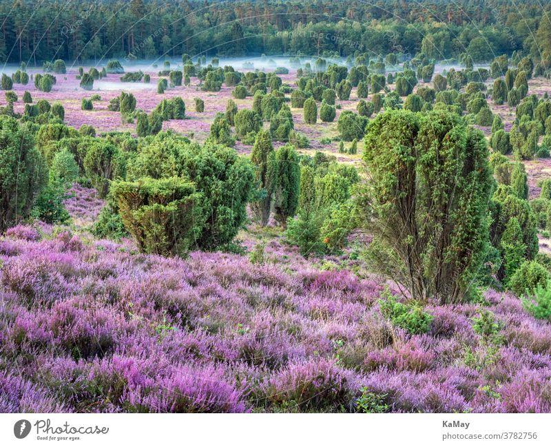 Totengrund in der Lüneburger Heide bei Sonnenaufgang, Niedersachsen, Deutschland Landschaft Heidekraut Heideblüte deutsch lila Reisen Reiseziel Tourismus