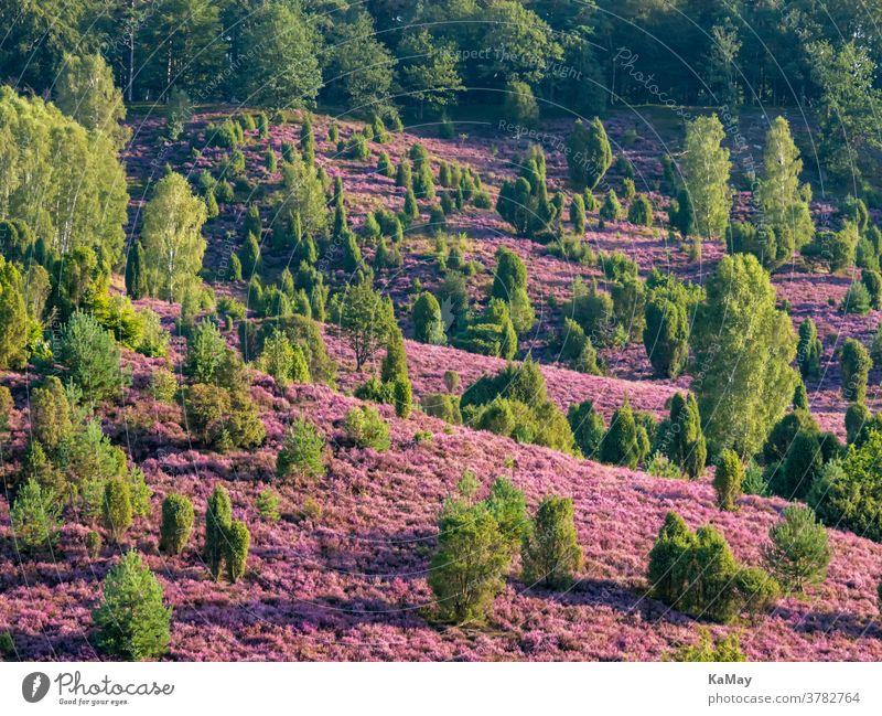 Landschaft in der Lüneburger Heide am Totengrund zur Heideblüte, Niedersachsen, Deutschland Heidekraut deutsch lila Reisen Reiseziel Tourismus Wacholder blühen