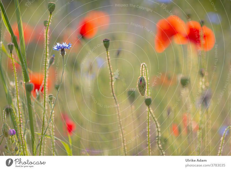 Sonne in der Mohn-Wiese Schwache Tiefenschärfe Gegenlicht Menschenleer Nahaufnahme Außenaufnahme Farbfoto Unschärfe sommerlich frisch rot blau weich wild