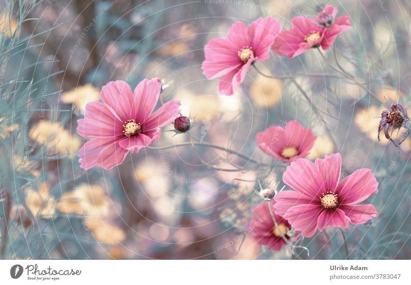 Schöne Blüten des Schmuckkörbchen (Cosmos bipinnatus) kosmeen Blume Sommer rosa Detailaufnahme Natur Garten Außenaufnahme Menschenleer Blühend zart leuchten