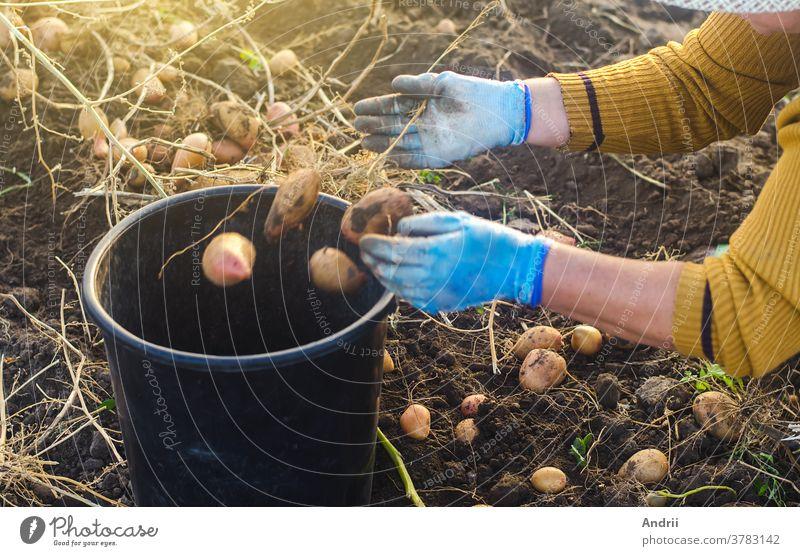Eine Bäuerin sammelt Kartoffeln in einem Eimer. Sie arbeitet auf dem Feld. Pflücken, Sortieren und Verpacken von Gemüse. Biologische Gärtnerei und Landwirtschaft. Erntekampagne, Rekrutierung von Saisonarbeitern.