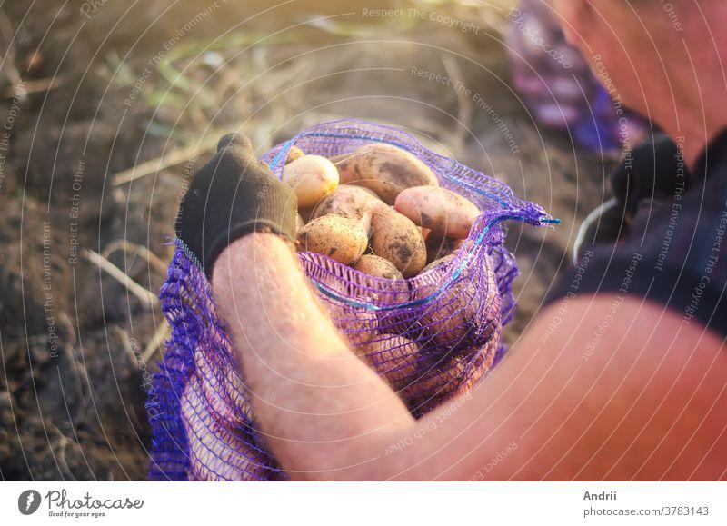 Ein Landwirt füllt einen Netzbeutel mit Erntekartoffeln. Kampagne zur Ernte von Kartoffeln auf einer landwirtschaftlichen Plantage. Landwirtschaft. Ackerland auf dem Land. Gemüse anbauen, sammeln, sortieren und verkaufen.
