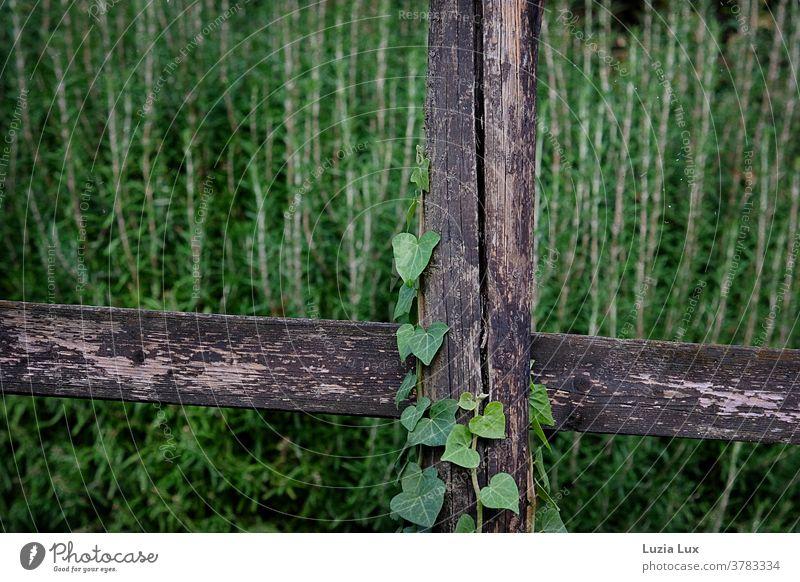 Viel Grün und altes Holz: Rosmarin im Hintergrund, rankt sich Efeu um einen alten Bretterzaun grün Efeublätter Efeuranke Zaun Riss Risse verwittert