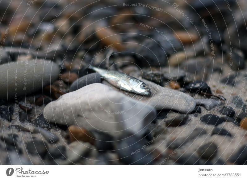 Toter Fisch auf einem Kieselstein am Strand Steine tot Tod Kieselsteine Kieselstrand Angeln Natur Umwelt silber Nordsee Steinstrand Gedeckte Farben Ostsee