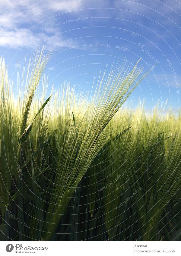 Grüne Gerste im Feld Ernte grün Grünpflanze Nutzpflanze Landwirtschaft landwirtschaftliche Fläche Gerstenähre Gerstenfeld Ähre Ähren Natur Außenaufnahme