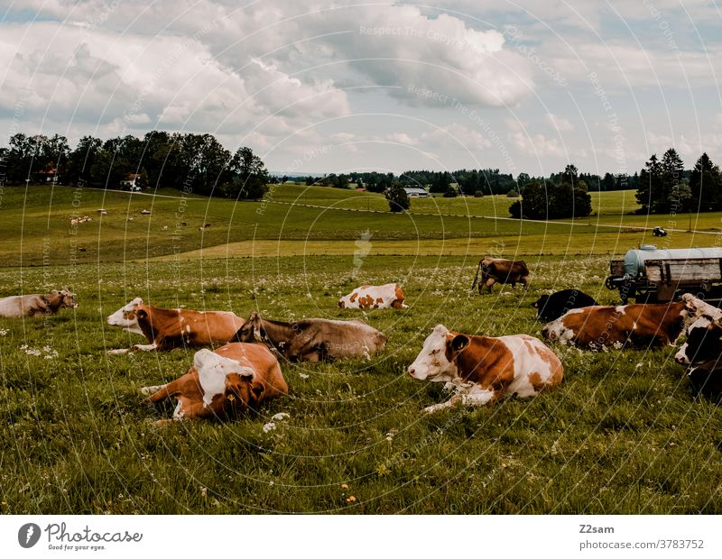 Allgäuer Kühe bayern kühe weide wiese nutztiere ausruhen leigen zusammen grün natur landschaft berge himmel wolken panorama sommer sonne herde Gras Umwelt