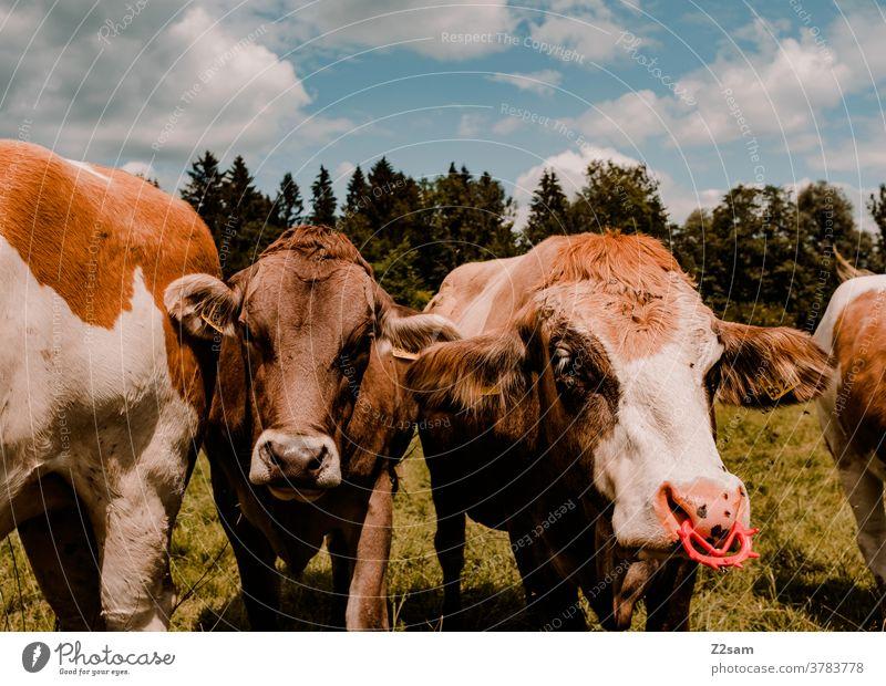 Kühe in Bayern auf der Weide kühe nutztiere bayern nahaufnahme grün landschaft natur wald himmel wolken sommer sonne nasenring wiese weide fell kuh