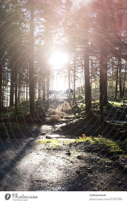 Hirsche, die im Wald Geweihe schlagen Bock Silhouette kämpfen Herausforderung Konkurrenz männlich Tier Dominanz Sonnenschein Baum Immergrün Kiefer sonnig