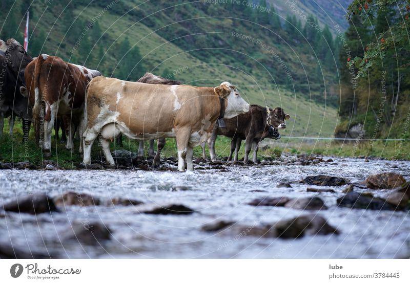 Vieh am Wasser Malfonalm Pettneu Malfontal vieh wasser bauernhof landwirtschaft rinder kuh almwirtschaft viehzucht tirol almwirtschaft almen alpwirtschaft