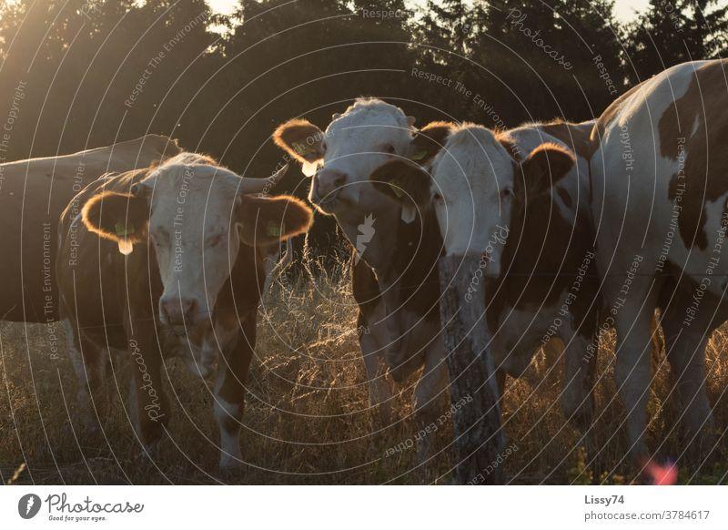 Auf der Weide stehende Kühe in der Abendsonne Sommer Natur Landleben