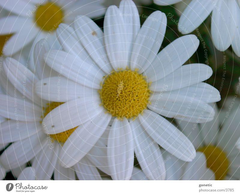 Magerite Blume Margerite